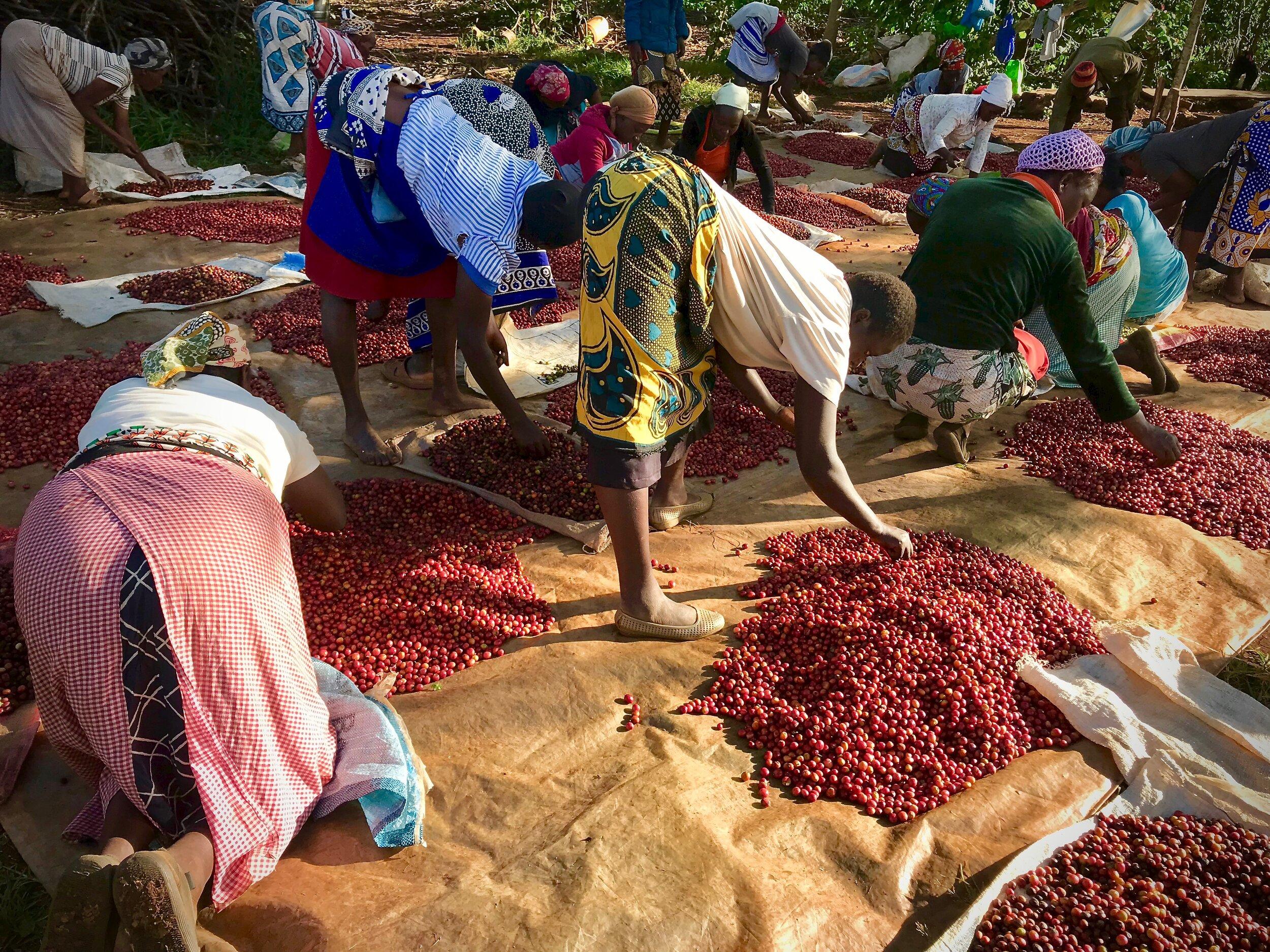 kaffe kvinner sorterer